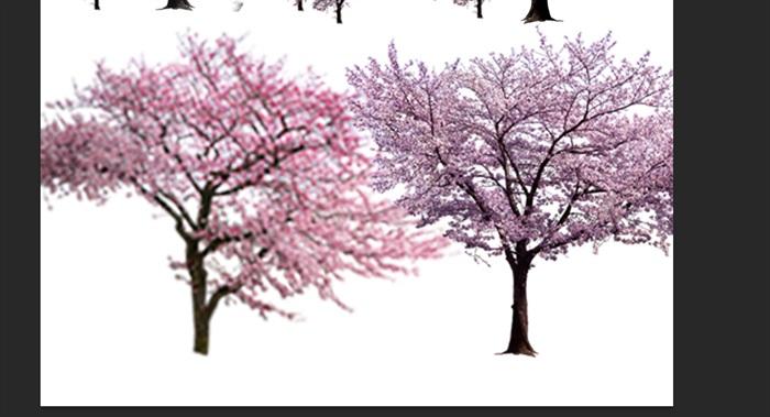 园林景观中各类樱花ps后期处理素材(5)